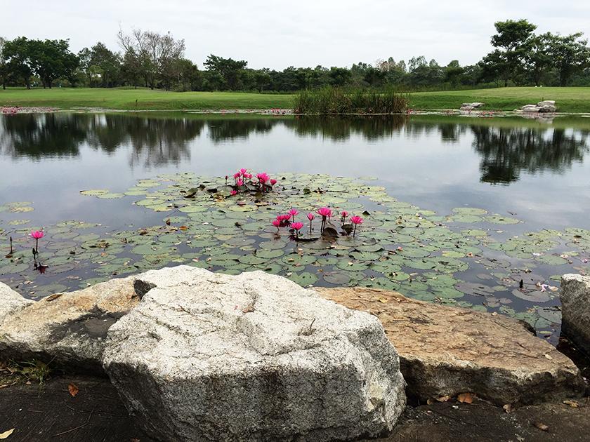ロータスバレーゴルフリゾート 蓮の花が咲いてた
