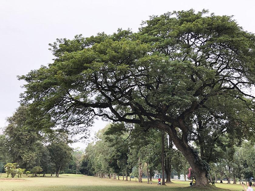 タイ・チェンマイゴルフ旅 大きな木