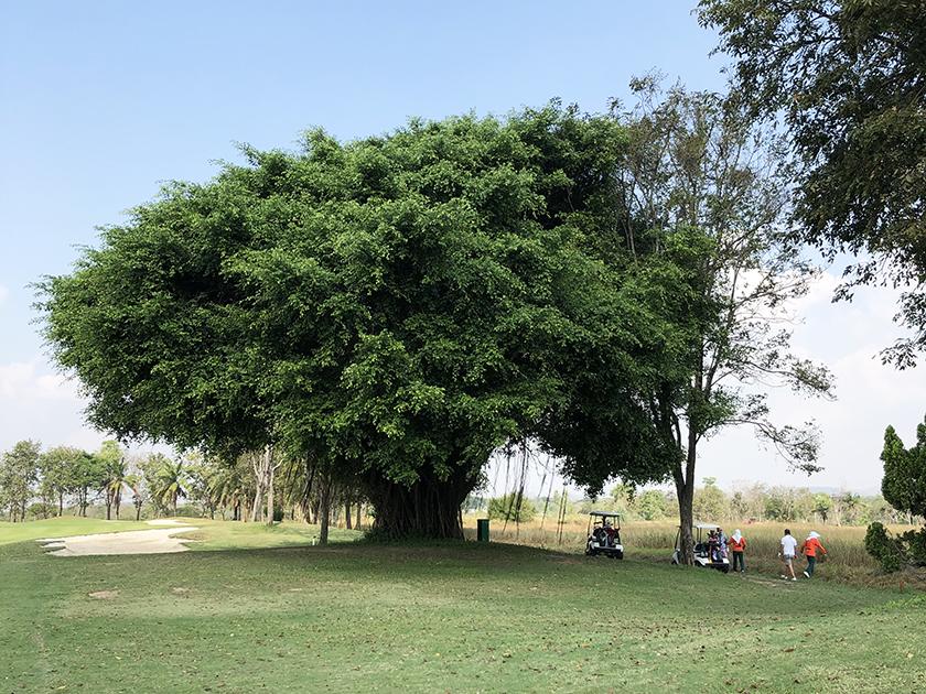 パタヤカントリークラブ 何番だろう?大きな木